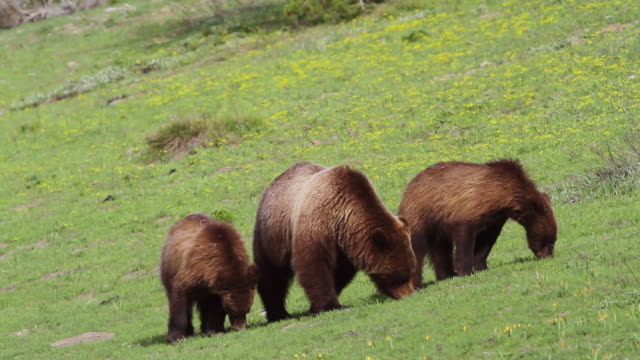 MS Shot of grizzly sow and two cubs grazing on fresh grass / Tetons, Wyoming, United States