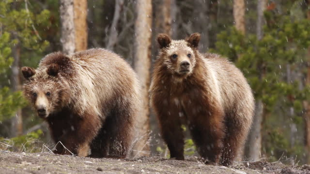 vidéos et rushes de ms shot of grizzly sow checks on her cubs while foraging / tetons, wyoming, united states - ours brun