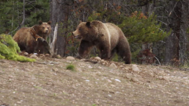 ms ts shot of grizzly sow running towards her cubs / tetons, wyoming, united states - クマ点の映像素材/bロール