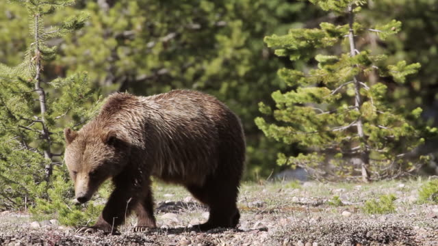 MS TS Shot of grizzly sow walking along river bank / Tetons, Wyoming, United States