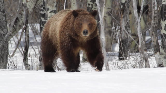 ms ts shot of grizzly sow walking on snow covering meadow in front of aspen tress / tetons, wyoming, united states - aspen tree stock videos & royalty-free footage