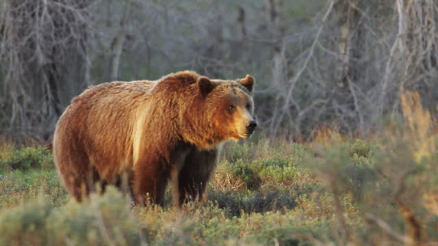 MS PAN Shot of grizzly sow washed in beautiful evening light / Tetons, Wyoming, United States