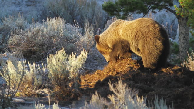 ms shot of grizzly uncovering moose carcass on frosty morning / tetons, wyoming, united states - digging stock videos & royalty-free footage