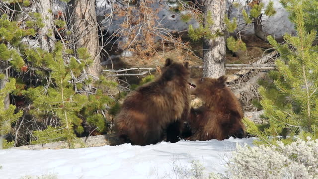 ms ts  shot of grizzly yearling cubs (ursus arctos) play fighting on a bank of snow - mt moran stock videos & royalty-free footage