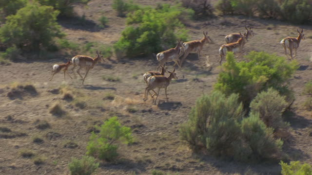 ms aerial ts zo shot of group of antelope to reveal red mountains and hills and rock formations at expedition island / wyoming, united states  - antilope stock-videos und b-roll-filmmaterial