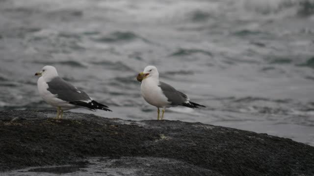 vídeos y material grabado en eventos de stock de shot of group of black-tailed gull resting on boulder near the sea - grupo pequeño de animales