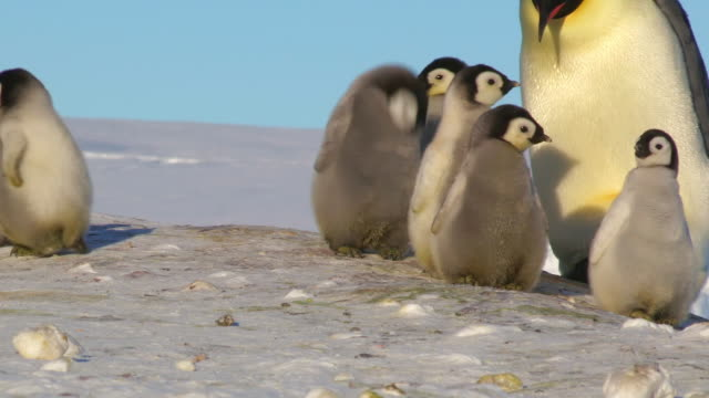 """""""ms pan shot of group of emperor penguin chicks adult walking up behind and falling over they scatter / dumont d'urville station, adelie land, antarctica"""" - 舞う点の映像素材/bロール"""