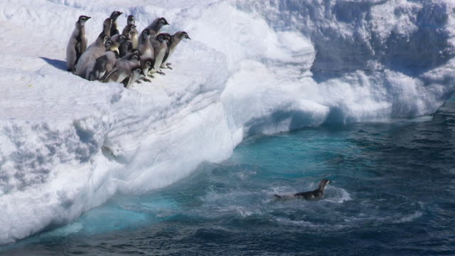 ws shot of group of emperor penguin fledgling chicks at edge of sea and ice peer into water, most of group diving in / dumont d'urville station, adelie land, antarctica - diving into water stock videos & royalty-free footage
