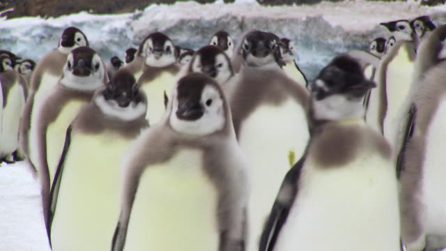 ms shot of group of emperor penguin fledgling chicks walking / dumont d'urville station, adelie land, antarctica - young animal stock-videos und b-roll-filmmaterial