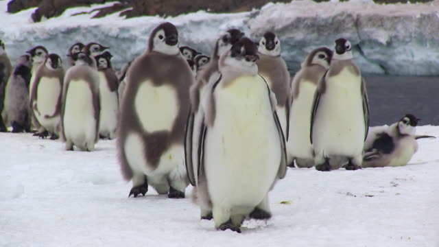 ms shot of group of emperor penguin fledgling chicks walking / dumont d'urville station, adelie land, antarctica - large group of animals stock videos and b-roll footage