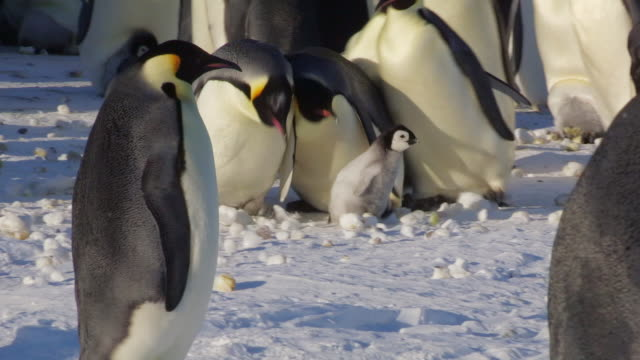 stockvideo's en b-roll-footage met ms pan shot of group of emperor penguins chase chick through colony / dumont d'urville station, adelie land, antarctica - steel