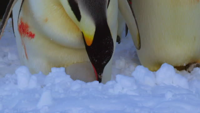 stockvideo's en b-roll-footage met ms td shot of group of emperor penguins in sunlight with bloody injuries from fighting / dumont d'urville station, adelie land, antarctica - steel