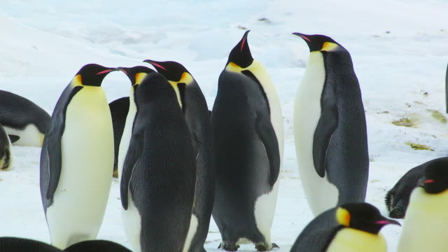 ms ts shot of group of emperor penguins one sets off on waddle dance and joined by others / dumont d'urville station, adelie land, antarctica - waddling stock videos and b-roll footage
