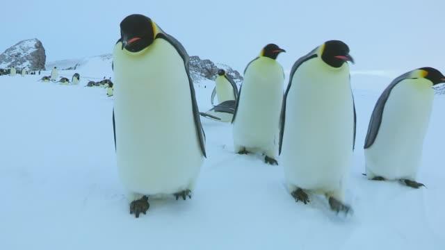 ms pov shot of group of emperor penguins walking and tobogganing on snow / dumont d'urville station, adelie land, antarctica - sliding stock videos & royalty-free footage