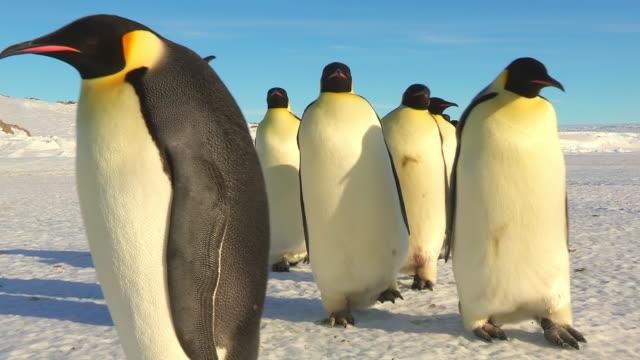vídeos de stock e filmes b-roll de ms pov shot of group of emperor penguins walking in good sunlight  / dumont d'urville station, adelie land, antarctica - clima polar