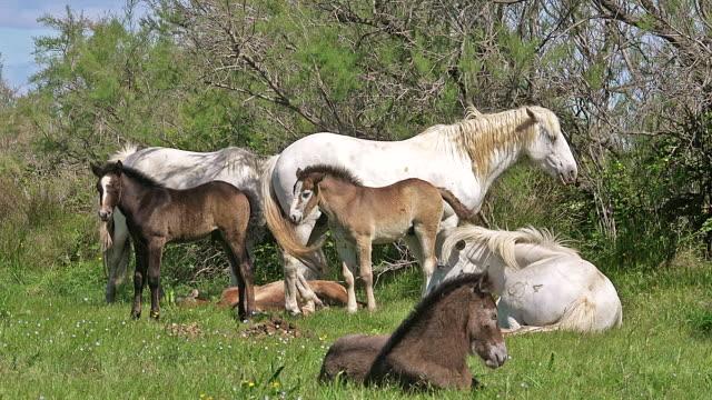 ms shot of group of horse resting on grass / saintes maries de la mer, camargue, france - 子馬点の映像素材/bロール