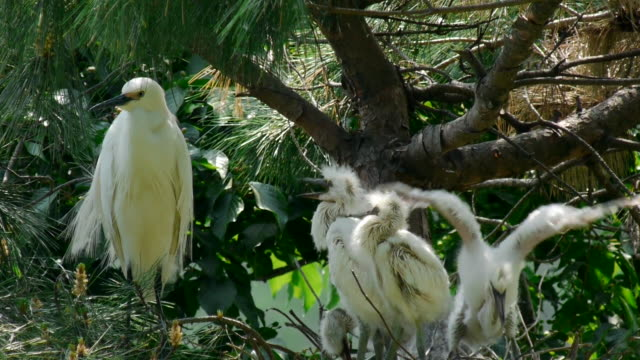 shot of group of intermediate egret resting in the bush - reihergattung egretta stock-videos und b-roll-filmmaterial