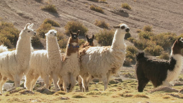 vídeos y material grabado en eventos de stock de ms shot of group of llama, lama glama on altiplano in andes mountains / san pedro de atacama, norte grande, chile - lama