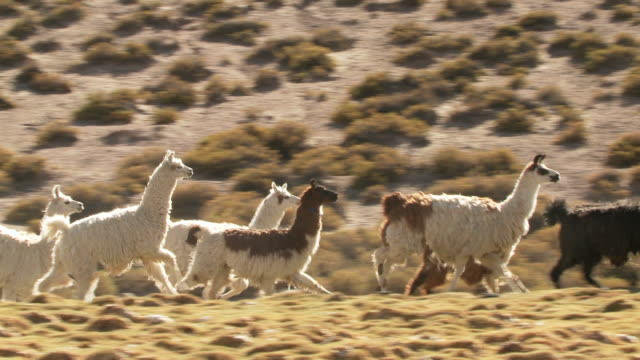 vídeos y material grabado en eventos de stock de ms ts shot of group of llama, lama glama running on mountains altiplano in andes / san pedro de atacama, norte grande, chile - lama