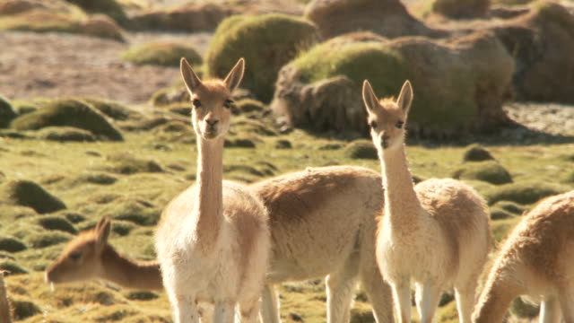 ms shot of group of vicunia, vicugna on altiplano in andes mountains / san pedro de atacama, norte grande, chile - medium group of animals stock videos & royalty-free footage