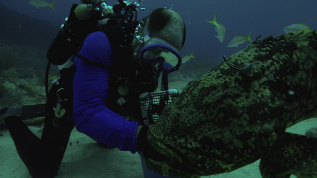 cu td slo mo shot of grouper catching fish from hands of male diver underwater / key large, florida, united states - grouper stock videos & royalty-free footage