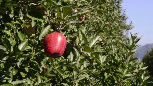 CU Shot of hads picking red apple from tree / Merano, Trentino, South Tyrol, Italy