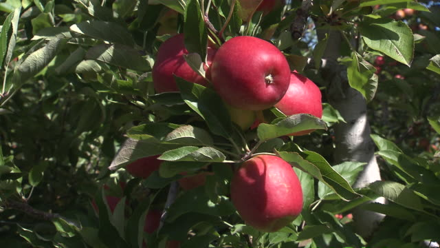 CU Shot of hand picking Apples from tree / Nelson, Marlborough, New Zealand