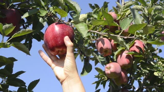 CU Shot of hand trying to reaching red apple on tree / Merano, Trentino, South Tyrol, Italy