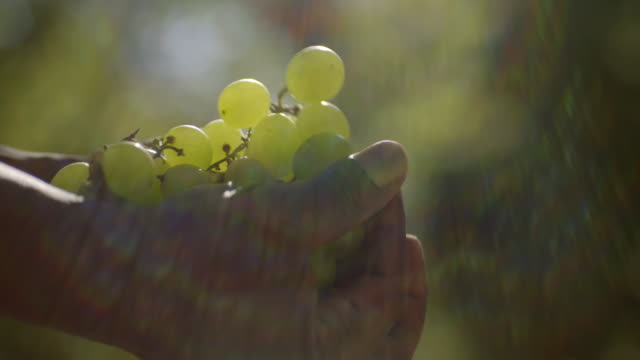 CU Shot of Hands holding green grapes with sun flare / Franschhoek, Western Cape, South Africa