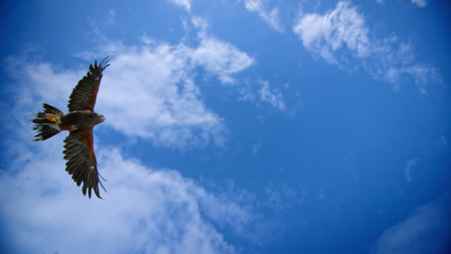 slo mo shot of hariss hawk flying over blue sky - inquadratura estrema dal basso video stock e b–roll