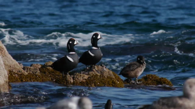 vídeos de stock e filmes b-roll de shot of harlequin ducks and seagulls grooming at the sea - grupo médio de animais