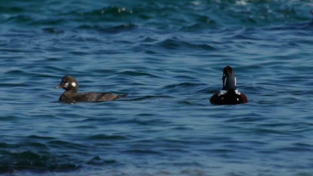 vidéos et rushes de shot of harlequin ducks on the sea - petit groupe d'animaux