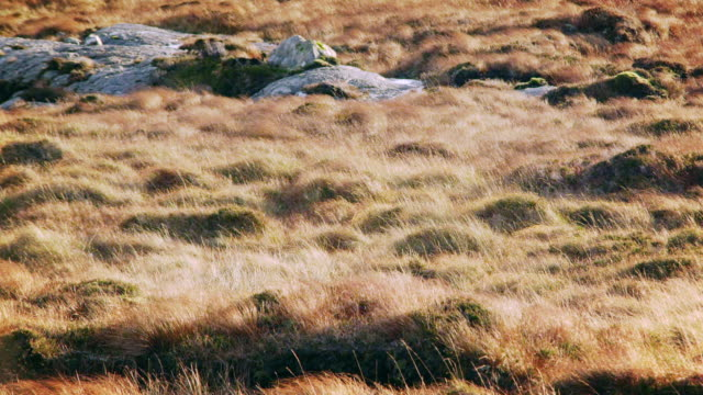 ms pan shot of harris island heathland with sun and wind / harris island, scotland, united kingdom - 2k resolution stock videos and b-roll footage