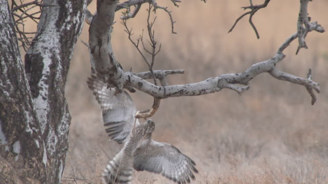 ms slo mo ts shot of hawk jumping around and playing with branches   / central kalahari game reserve, botswana - gespreizte flügel stock-videos und b-roll-filmmaterial