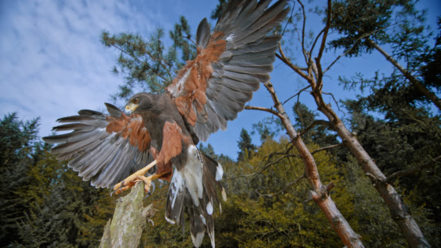 slo mo shot of hawk landing on a wooden branch - landen stock-videos und b-roll-filmmaterial