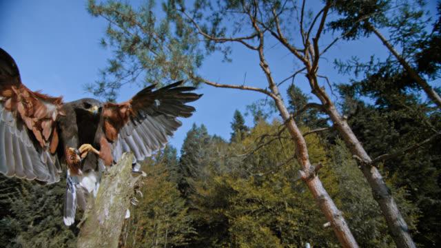 SLO MO shot of hawk landing on wooden stem
