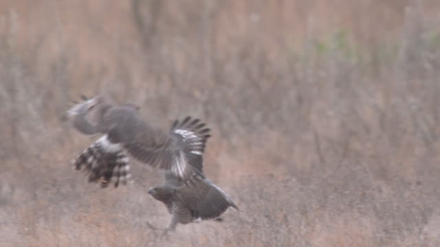MS SLO MO TS Shot of Hawk playing another hawk   / Central Kalahari Game Reserve, Botswana