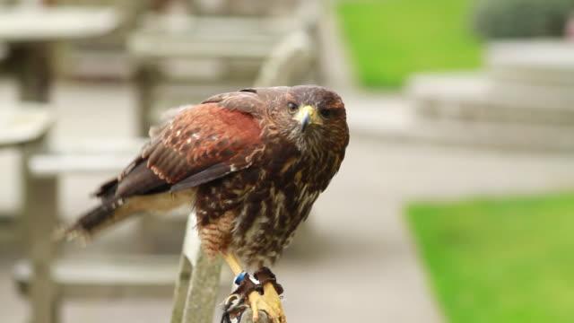 cu shot of hawk squawking / bovey, england, united kingdom - wiese stock videos & royalty-free footage