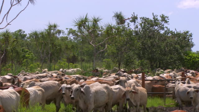 ms ts zo shot of helicopeters herd cattle / rakula, northern territory, australia - cattle stock videos & royalty-free footage