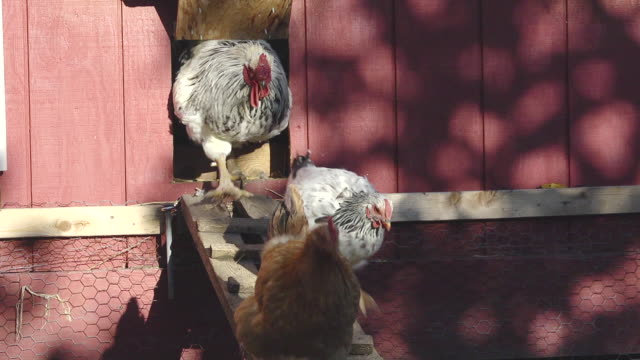 MS SLO MO Shot of Hens and of white rooster walk down ramp from their poultry house / Chelsea, Michigan, United States/ sadfasf