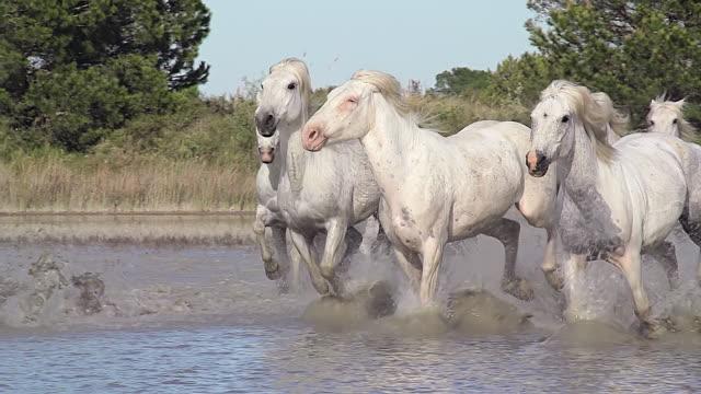 ms ts pan slo mo r/f shot of herd horse galloping in river / saintes marie de la mer, camargue, france - camargue stock-videos und b-roll-filmmaterial
