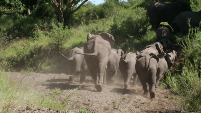 WS PAN SLO MO Shot of Herd of African Elephants run up in grass / Thula Thula, South Africa
