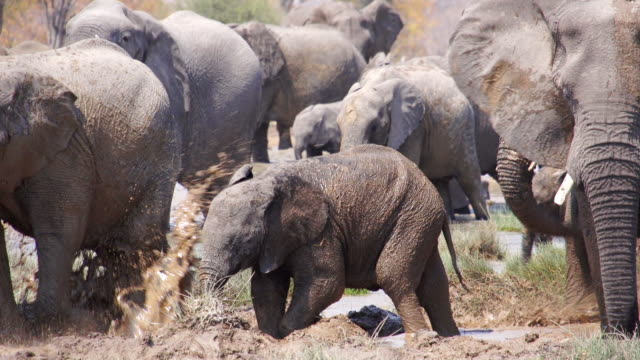 ms pan shot of herd of african elephants wallowing in mud / etosha national park, namibia - wildtier stock-videos und b-roll-filmmaterial