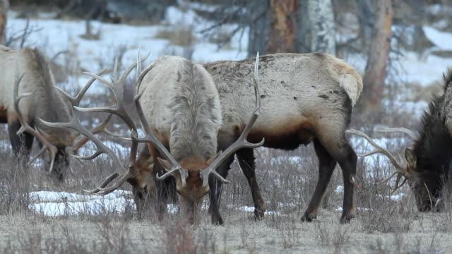 stockvideo's en b-roll-footage met cu ts shot of herd of bull elk grazing / estes park, colorado, united states - estes park