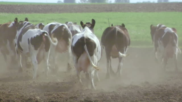CU TS Shot of Herd of dairy cows runs away / Kingston, Wisconsin, United States