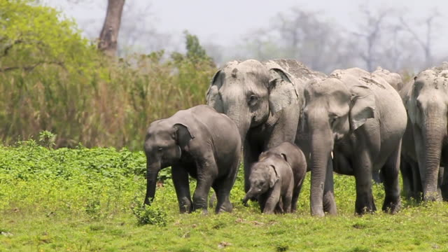 """ms shot of herd of elephants walking / assam, golaghat, india"" - elephant stock videos & royalty-free footage"