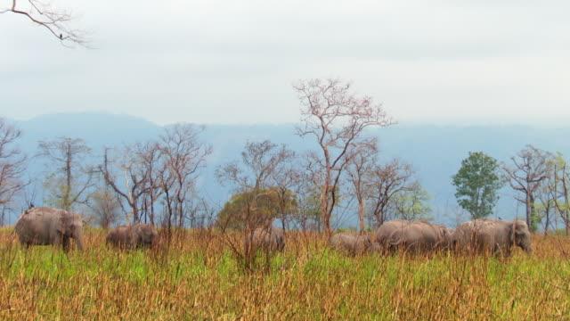 """""""WS PAN Shot of Herd of elephants walking through long grass / Assam, Golaghat, India"""""""