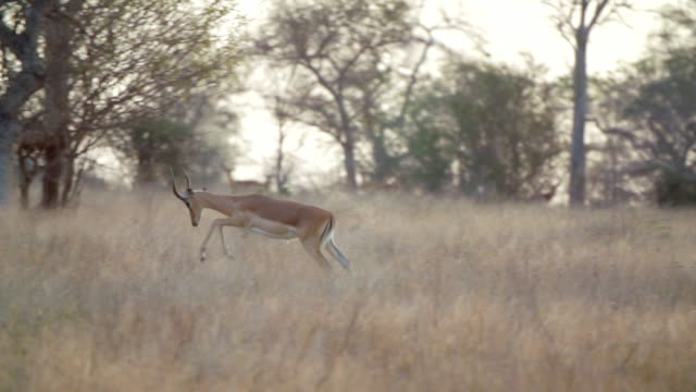 ms slo mo ts shot of herd of impala grazing in savannah  / kruger national park, mpumalanga, south africa - small group of animals stock videos & royalty-free footage