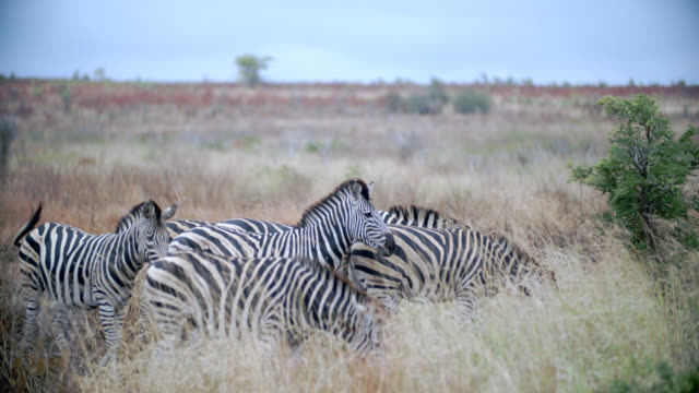 ms r/f shot of herd of zebra (equus quagga) grazing / kruger national park, mpumalanga, south africa - provinz mpumalanga stock-videos und b-roll-filmmaterial