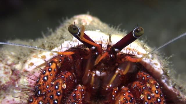 CU Shot of Hermit crab / Lembeh strait, Sulawesi, Indonesia